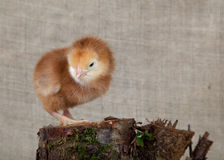 Chick on the background fabric Royalty Free Stock Photo