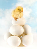Chick in balance. Little yellow newborn easter chick balancing on top of stacked eggs Stock Photography
