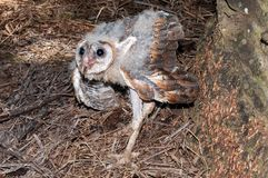 Chick of barn owl aging around 35-45 days at oil palm plantation. A chick of Barn Owl & x28;tyto alba& x29; about 35 - 40 days in oil palm plantation Royalty Free Stock Photo