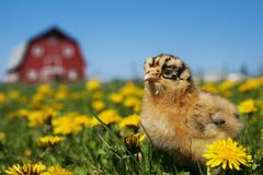 Ameraucana Chick in the Barnyard. A baby Ameraucana chick in the barnyard enjoying the sun and the flowers stock photography