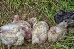 Chick broiler chicken feathers are damaged Stock Photo