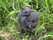 Chick of brown noddy Stock Photos