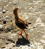 Chick. Brown chick walking away from me on the farm Royalty Free Stock Images