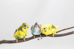 Chick Budgie, Budgarigar Bird Chick stock image