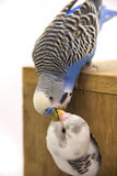 The chick and  budgie  are in a nest on white background Stock Photos