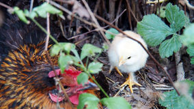 Chick in the bush Stock Photo