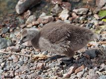 A chick of Canada goose. Walk near the sea Stock Photo
