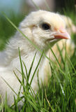 Chick close up Stock Photography