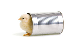 Chick comes out of a tin can Stock Image