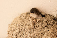 Chick common plane waiting in the nest Stock Images