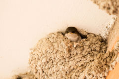 Chick common plane waiting in the nest Stock Photos
