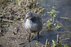 A chick of the coot Stock Image