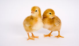 Rhode Island Red Chicken Couple Baby Chicks Stock Images