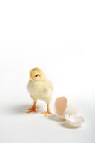 Chick and cracked egg Royalty Free Stock Photo