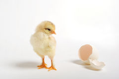 Chick and cracked egg. Golden chick looking back at his cracked egg Royalty Free Stock Image