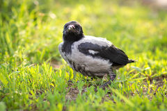 Chick crows on green grass Royalty Free Stock Photo