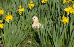 Chick in the daffodils Royalty Free Stock Images
