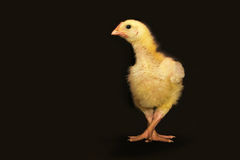 Chick dancing Royalty Free Stock Images