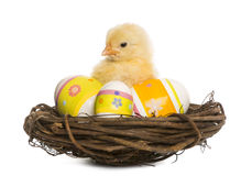 Chick (8 days old) standing in a nest with Easter eggs Stock Images