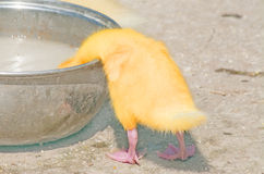 Chick drinking in a bowl Royalty Free Stock Photos