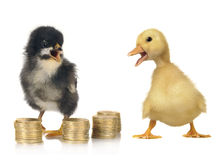 Chick and duck Stock Photos