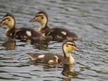 Chick duck. Bevy of chick small duck in the water Royalty Free Stock Image