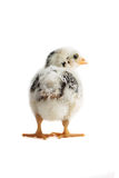 Chick East Frisian Gull backside. A Portrait backside of a Chick of Race East Frisian Gull, isolated Royalty Free Stock Image