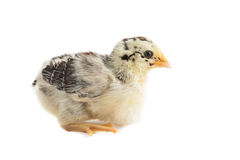 Chick East Frisian Gull Stock Images