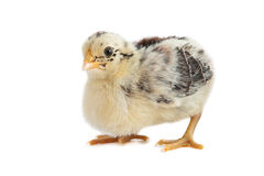 Chick East Frisian Gull. A Portrait of a Chick of Race East Frisian Gull, isolated Royalty Free Stock Photography