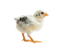 Chick East Frisian Gull. A Portrait of a Chick of Race East Frisian Gull standing upright, isolated Royalty Free Stock Images