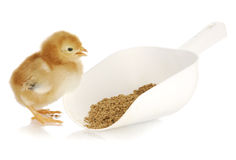 Chick eating Stock Photography
