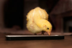 Chick eating Stock Photo