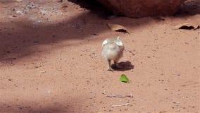 Chick Eating y el oler almacen de video
