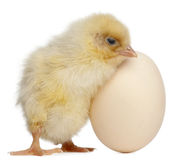 Chick with egg, 2 days old Royalty Free Stock Photos