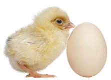 Chick with egg, 2 days old Stock Image