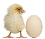 Chick with egg, 2 days old royalty free stock photo