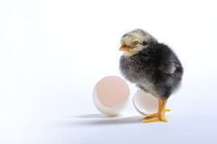 Chick and egg Stock Images