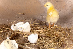 Chick and egg with calendar. Yellow easter chick walking away from an eggshell with a calendar inside Royalty Free Stock Photos