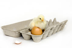 Chick in an egg carton. A baby chick sits inside of an egg carton on a white background Royalty Free Stock Photo