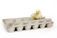 Chick in an egg carton. A baby chick sits inside of an egg carton on a white background Royalty Free Stock Images