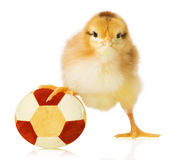 Chick with egg on football  on white background Stock Photography