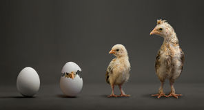 Chick and egg. Little chicks and white egg on grey background, growth progress concept Royalty Free Stock Image