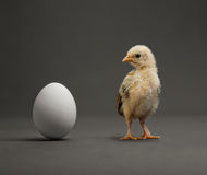 Chick and egg. Little chick and white egg on grey background Stock Photos