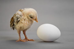 Chick and egg Stock Photography