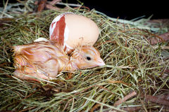 Chick egg and nest. Little chick beside its egg still wet after hatching Royalty Free Stock Photography