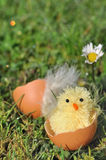 Chick in egg shell Royalty Free Stock Photo