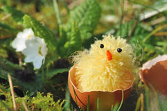 Chick in egg-shell Stock Image