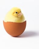 Chick in egg Royalty Free Stock Photography