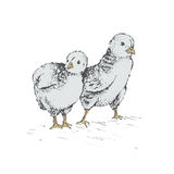 The chick egg. Two chick peeking out of eggs and looking for egg, unhatched chicken. Series sketch illustration for your design working. Graphics, hand drawing royalty free illustration