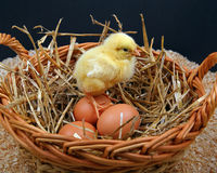 Chick On Eggs Stock Image